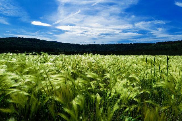 jęczmień pole